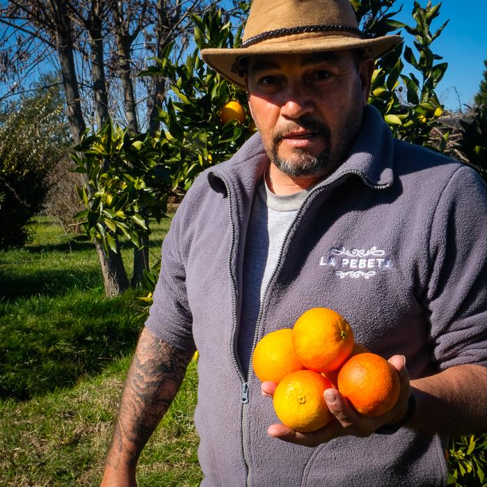 Recolectando naranjas de ombligo y sanguineas en los frutales de la huerta en La Pebeta