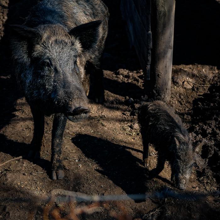 Jabalies alimentandose en la granja de La Pebeta
