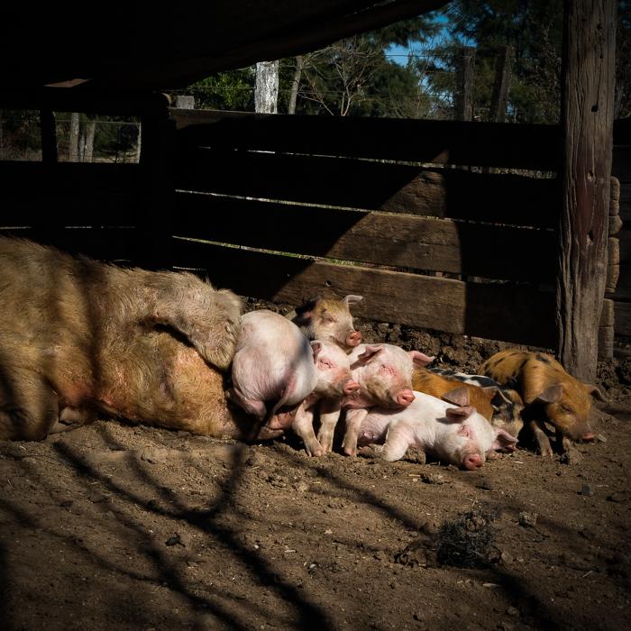 La chancha y sus chanchitos tomando una siesta al sol en la granja de La Pebeta