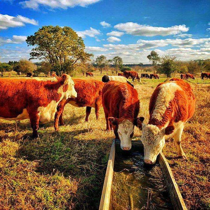 Ejercitando y rotando nuestro ganado vacuno