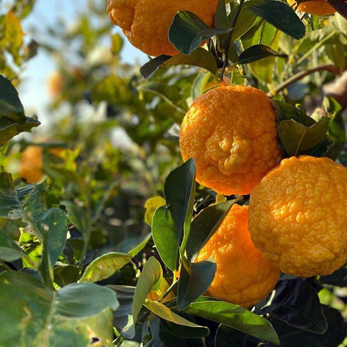 Limoneros con limones listos para recolectar y preparar limoncello