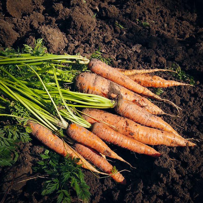 cosechando zanahorias organicas en la huerta de la Pebeta
