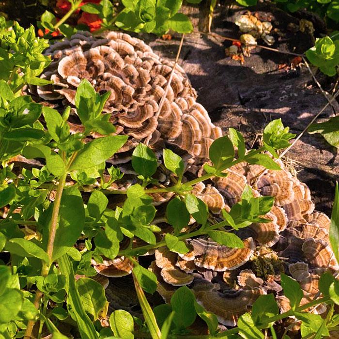 champiñones silvestres en la huerta de La Pebeta