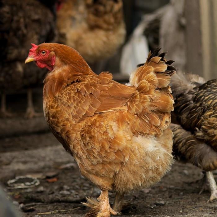 Visitando nuestro gallinero